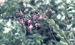 Lae orchid