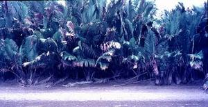 Nipa Palm, Muschu